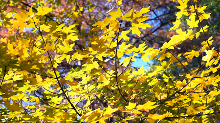Fall colors of great tree leaves makes for cool background.