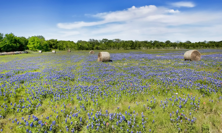 Texas bluebonnets in the countyside of Ennis,Texas. 스톡 콘텐츠 - 100056249