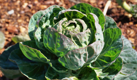 Fresh head of green garden cabbage. Stock Photo