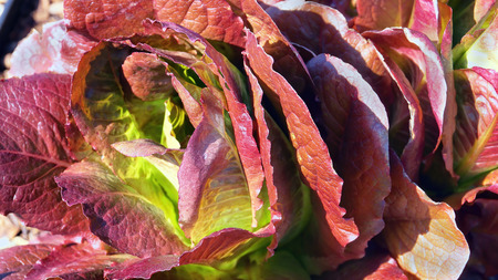 Close-up of garden Red Romaine Lettuce .