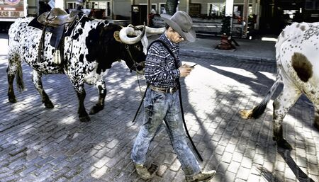 Fort Worth,Texas, Jan.4,2020 - Longhorn cattle drive at the Fort Worth Stockyards. Cowboy texting and driving a large bull.