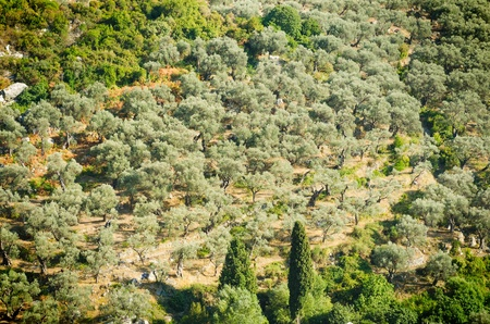 Olive grove photo