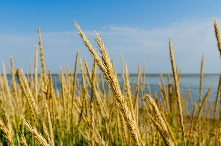 Tall grass on a sea shore photo
