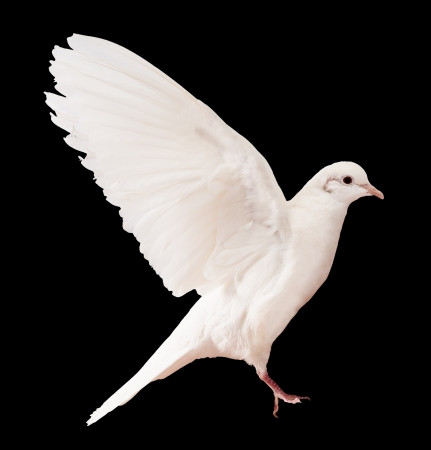white pigeon: Dove over black
