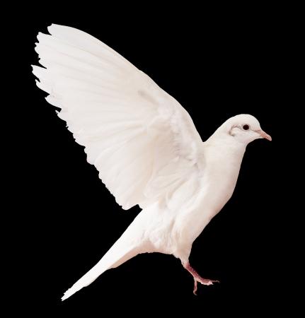 Dove sobre negro Foto de archivo