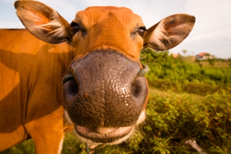 Cute cow with its tongue out photo