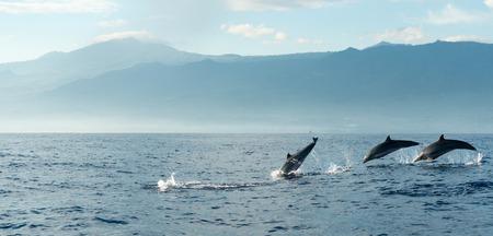 delfin: Delfiny w Oceanie Spokojnym na wschód słońca. Bali, Indonezja