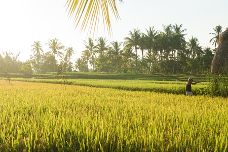 balinese: Balinese traditional culture - rice field in Ubud