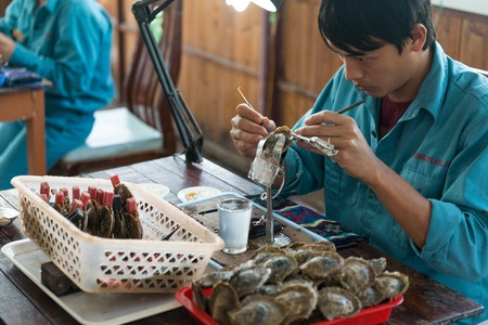 implantation: HALONG, VIETNAM - May 9, 2014 -Surgical implantation of an irritant in an oyster shell to produce pearls on a cultured pearl farm