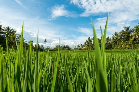 ubud: Lush tropical rice fields in Ubud, Indonesia