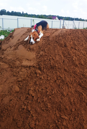 atop: Cute Beagle Dog resting atop mount of dirt