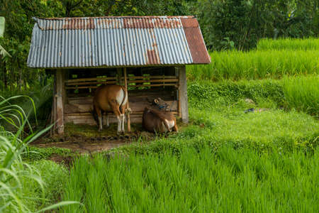 Cows on rice field