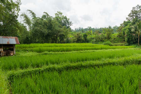 Rice paddies at Bali 免版税图像