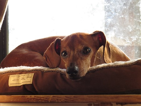 pouty: pouty dachshund in laying in bed Stock Photo