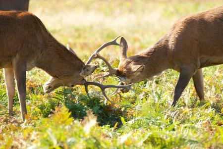 rutting: Rutting Deer