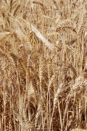 david and goliath: Wheat field in Israel. It is actually growing in the valley of Elah where David and Goliath are said to have fought Stock Photo