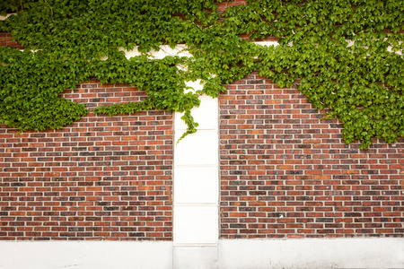 ivy wall: A blank brick and ivy wall perfect for backgrounds and messages. Stock Photo