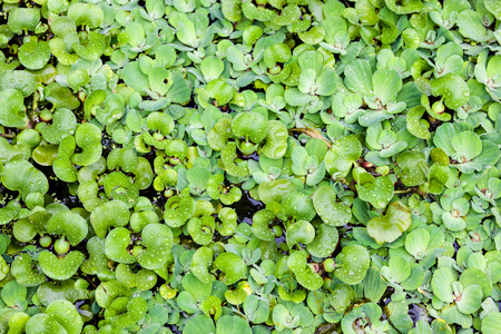 atop: A bed of an aquatic plant floats atop water.