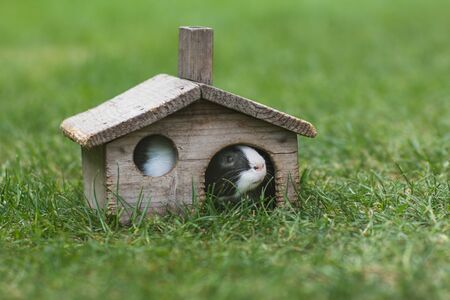 guinea pig is in little wooden house on green grass