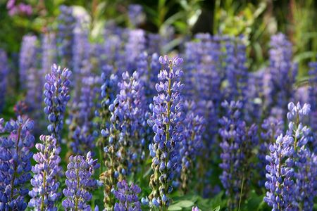 Flor Salvaje de Alaska  Foto de archivo - 2314127