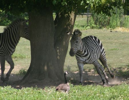 chased: zebra being chased