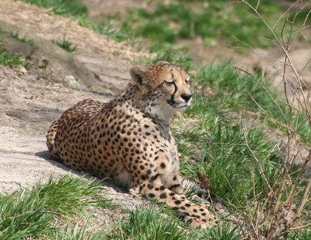cheetah Reklamní fotografie