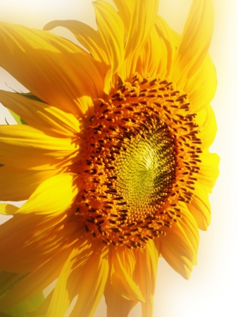 diffused: Sunflower Diffused on White Stock Photo