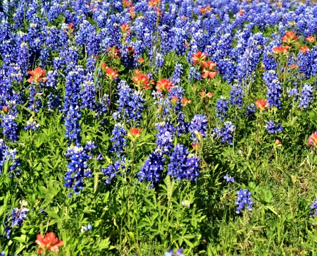 bluebonnet: Field of bluebonnets in bloom
