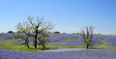 bluebonnet: Landscape of a field filled with springtime bluebonnets
