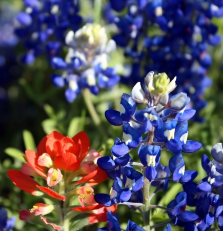 bluebonnet: Close up of red and blue lupine Stock Photo