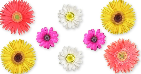 Multicolored daisies isolated on white background