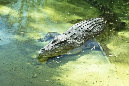 Large alligator warming in the sunshine