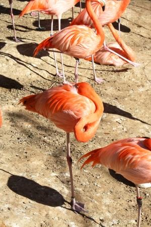 Group of sleeping pink flamingos