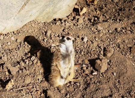 Cute meerkat on lookout patrol Zdjęcie Seryjne