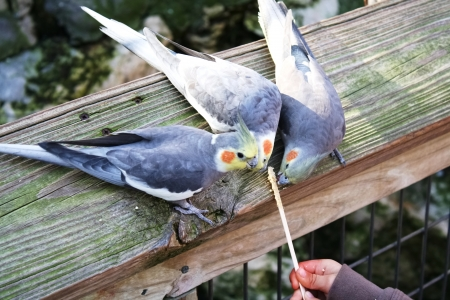 avian: The hands of a child feeding cockatiels