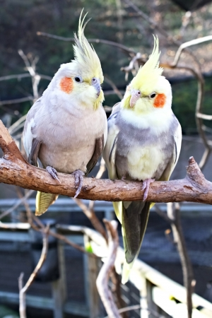 Two cockatiels perched on a branch in conversation Stock Photo