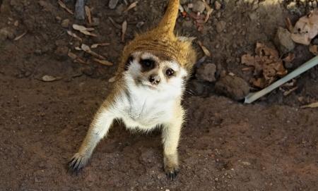 Close up of a curious meerkat