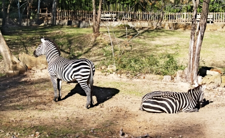 Two zebras Zdjęcie Seryjne