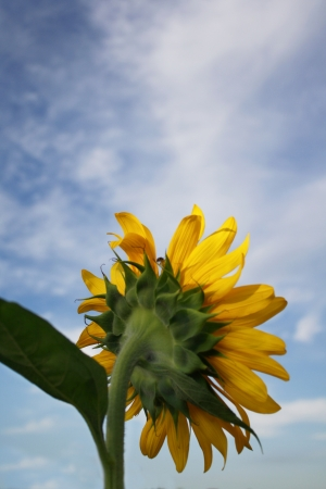 Sunflower with cloud and sky background