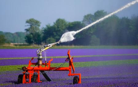 An agricultural sprinkler system irrigating a crop of flowers