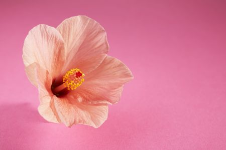 Chinese hibiscus flower on pink background (Hibiscus rosa-sinensis)