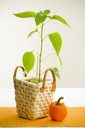 belly pepper: Orange pepper and pepper plant on white table Stock Photo