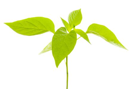 belly pepper: Belly pepper plant leaves isolted over white background. Stock Photo