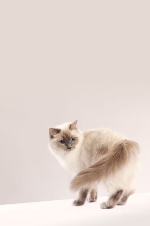 Long haired cat looking back with copy space