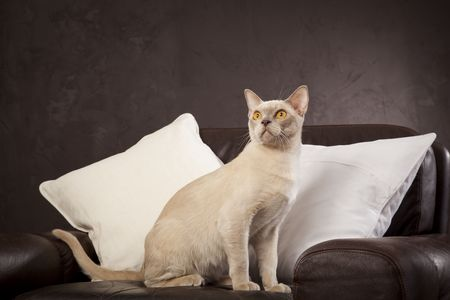 White cat on the brown leather armchair photo