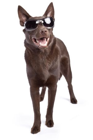 shades: Isolated cute and funny australian kelpie dog over white background Stock Photo