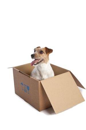 isolated jack russell terrier in card board box over white background photo