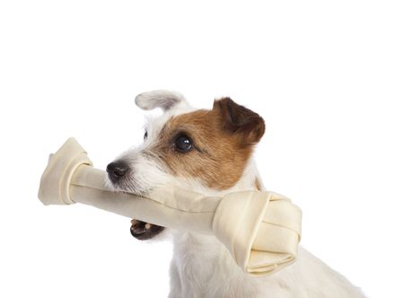 isolated jack russell terrier holdiong a bone over white background photo