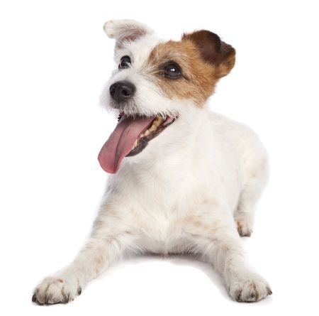 russell: isolated jack russell terrier smiling and lying down over white background