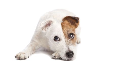 isolated sad and depressed jack russell terrier smiling and lying down over white background